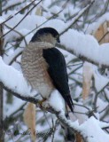 Sharp-shinned Hawk-i.d. pics