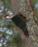 Pileated Woodpecker in Vermont