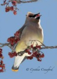 Cedar Waxwings in Vermont