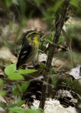 Blackburnian Warbler-female gathering nesting material