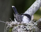Kingbird building her Nest in Vermont