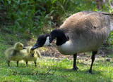 Canada Goose and new-born Goslings