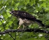 Broad-winged Hawk side