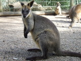 Featherdale Wildlife Park: Kangaroos