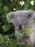 Featherdale Wildlife Park: Koalas
