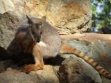 Featherdale Wildlife Park: Rock Wallabies