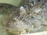 Featherdale Wildlife Park: Croc!