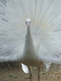 Featherdale Wildlife Park: Albino Peacock