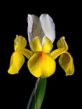 Dutch Iris - Yellow and White