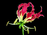 Gloriosa rothschildiana