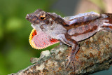 Brown Anole Sheds