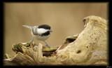 Chickadees & Robins