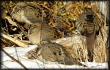 Doves, Turkey Vultures,Pigeons