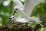 Common White Tern