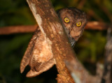 Bare-legged Scops Owl