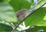 Seychelles Brush-Warbler