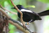 Seychelles Magpie-Robin