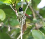Seychelles Paradise-Flycatcher