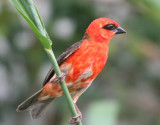 Madagascar Red Fody (male)