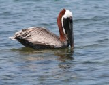 Pelicans, Cormorants, Gannets