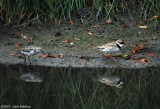 Semipalmated Sandpiper and Plover