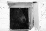 Hest i snøvær_s-hv