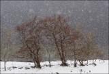 Svaner i snøvær