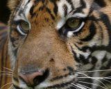 Sumatran Tigers  Two
