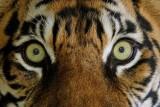 Sumatran Tigers  Three