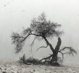 The old tree in Ahwahnee meadow