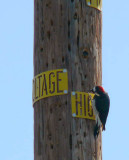 The reason woodpeckers have red heads