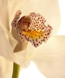 Orchid Dance