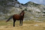 Wild horse in the Upper Ališnica Valley