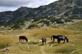 Wild horses, upper Ališnica Valley