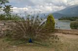 Preening peacock, Sveti Naum