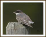 EasternKingbird-Juvenile.jpg