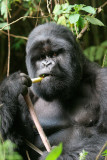Eating the bamboo
