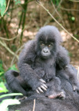 baby gorilla sitting on mom
