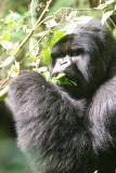 gorilla eating leaves.
