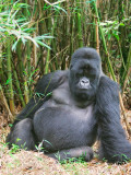Male gorillas weigh up to 400 lbs and they are mainly vegetarians, eating up to 75 lbs per day of leaves and bamboo shoots.