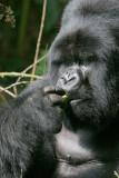 Silverback gorilla having a little snack