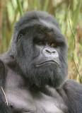 Such a handsome gorilla