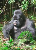 Silverback gorilla eating the bamboo