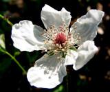 Tybee Wildflower