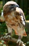 Injured Red-Tail Hawk