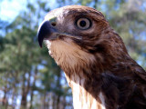 MJ the Red-Tailed Hawk