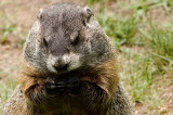Just A Groundhog