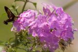 Hummingbird Moth (1 of 4 photos)