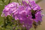 Hummingbird Moth (3 of 4 photos)