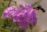 Hummingbird Moth (4 of 4 photos)